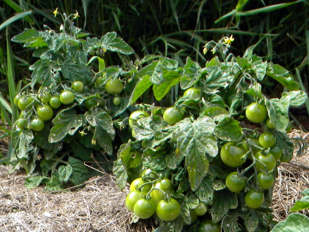 Tiny Tim Cherry Tomatoes on the Huegelkultur First Season