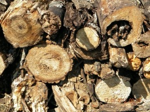 Poplar logs in Varying states of decay