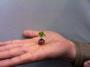 The Tiniest Bonsai