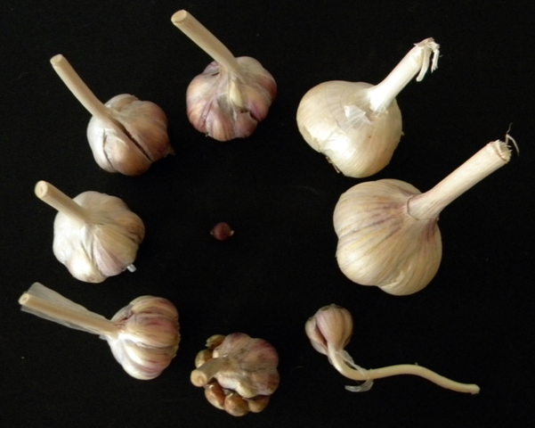 Garlic from bulbils of initial planting through cross-pollination and several seasons of Acclimatization