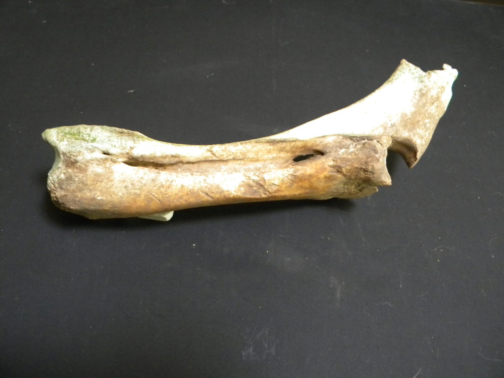 The original colour of the bone is shown on this photo, as compared to the pale bleached section exposed to the elements.